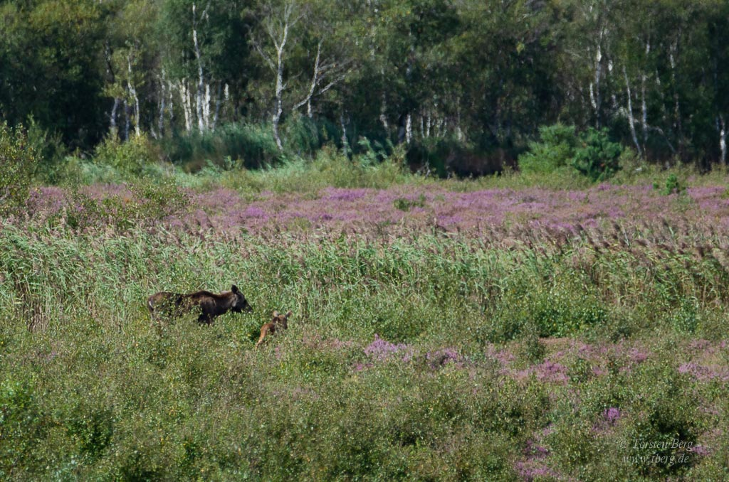 Wildlife-Safari in Lille Vildmose in Dänemark - wilde Elchkuh mit ihrem Kalb