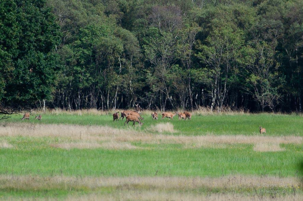 Wildlife-Safari in Lille Vildmose in Dänemark - Rotwild am Wald von Høstemark