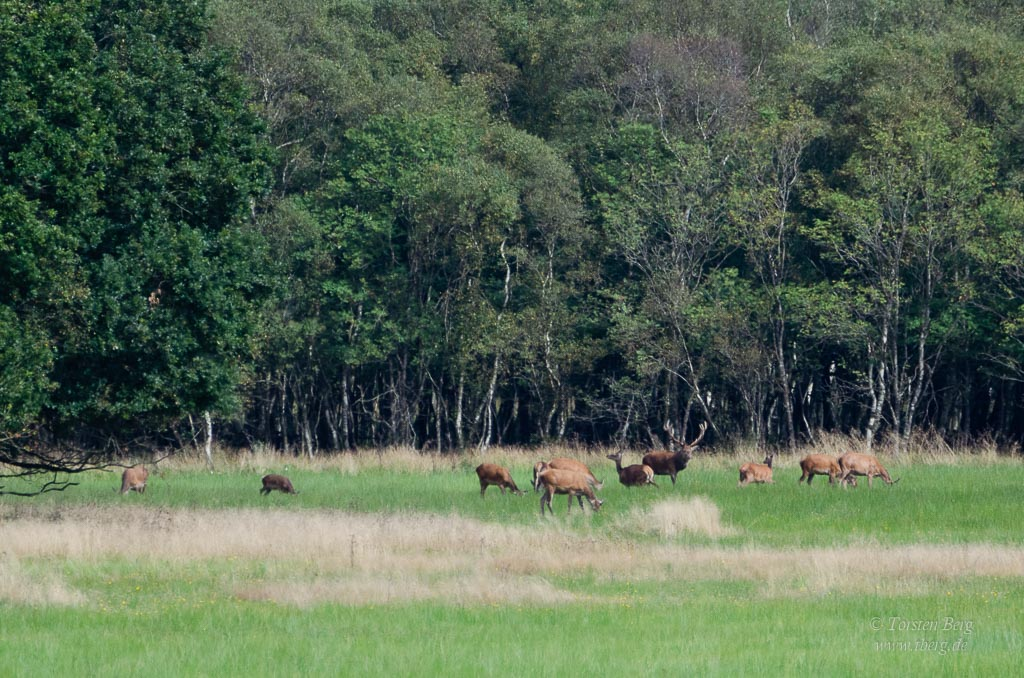 Wildlife-Safari in Lille Vildmose in Dänemark - Rotwild am Høstemark Wald