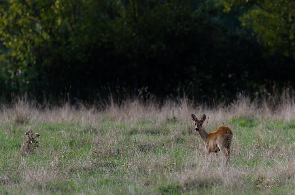 Wildlife-Safari in Lille Vildmose in Dänemark