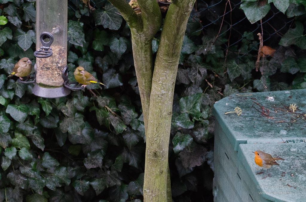 Mitmachen bei der Stunde der Wintervögel - auch Grünfinken und Rotkehlchen kannst du bestimmt beobachten