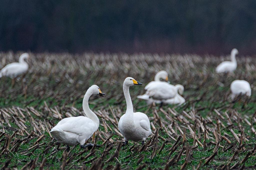 Vögel als Wintergäste in Deutschland beobachten