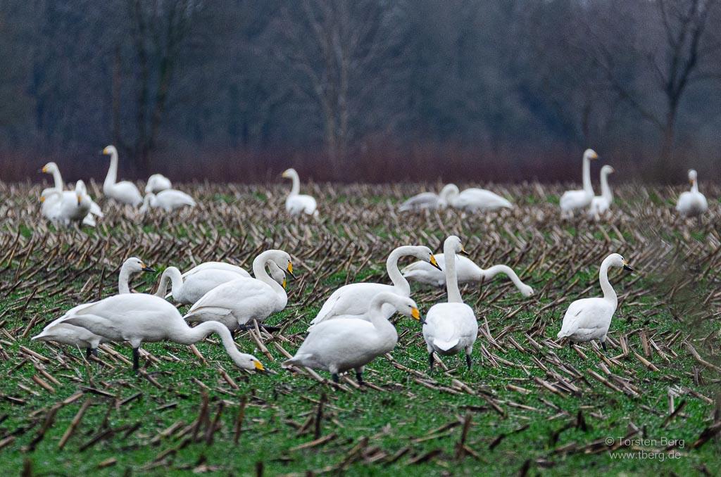 Vögel als Wintergäste in Deutschland beobachten: eine Gruppe Singschwäne in der Nähe von Bremen