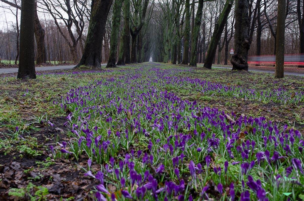 1 Million Krokusse blühen in Bremen-Oberneuland