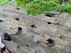 Rezension Fährten lesen und Spuren suchen - Spuren eines Nagekäfers im Totholz
