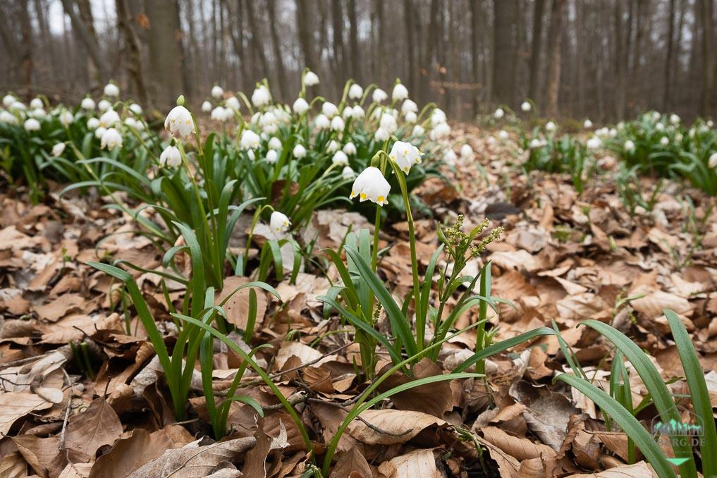 Das war der März 2021 - der Frühling erwacht im Buchenwald auch mit dem Märzenbecher