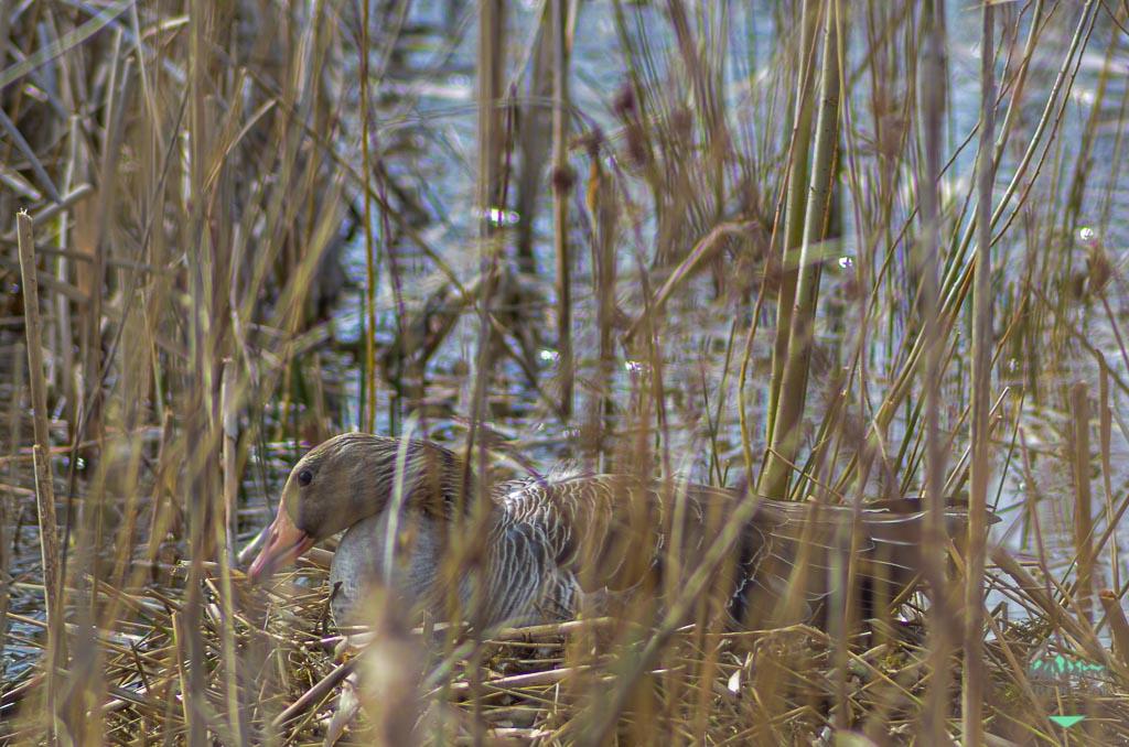 Die Brut- und Setzzeit beginnt - Leinenpflicht für Hunde - Graugans am Nest - werden Vögel am Nest verscheucht, droht der Verlust des ganzen Geleges