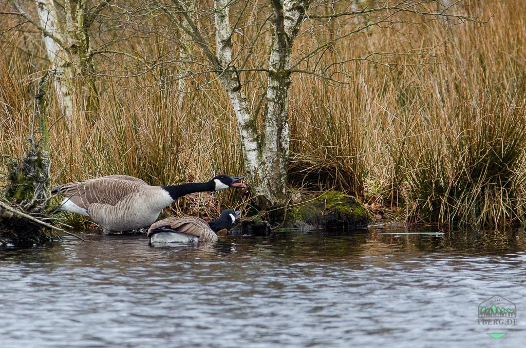 Naturschutzgebiet Hohes Moor bei Heinbockel - neue Arten wie die Kanadagans besiedeln den Lebensraum