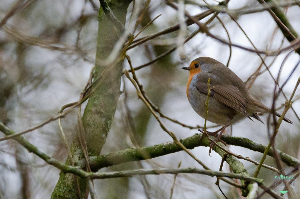 Das Rotkehlchen ist Vogel des Jahres 2021 - wer kann diese Knutschkugel nicht mögen?
