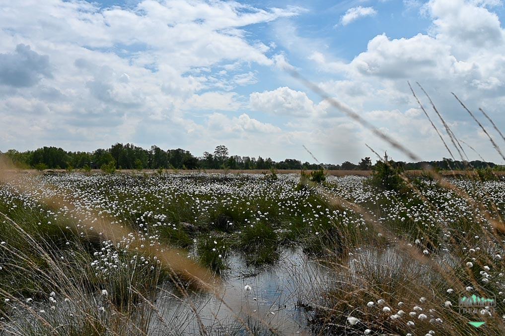 Exkursionen zur Wollgrasblüte im Moor (mit Foto-Tip) - Naturerlebnis im Mai
