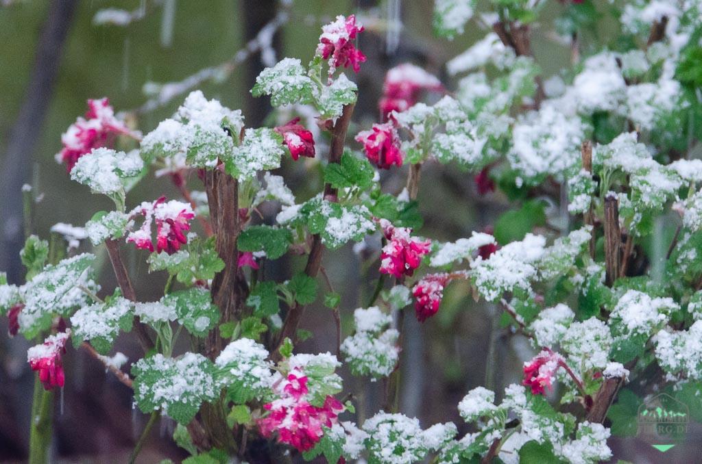 April, April - der macht, was er will - das war der April 2021 - mal richtiges Aprilwetter! Blüten der Johannisbeere im Schnee