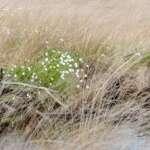 Exkursionen zur Wollgrasblüte im Moor (mit Foto-Tip)