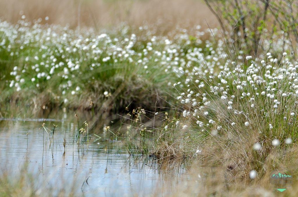 Das war der Mai 2021 - herrliche Wollgrasblüte im Moor