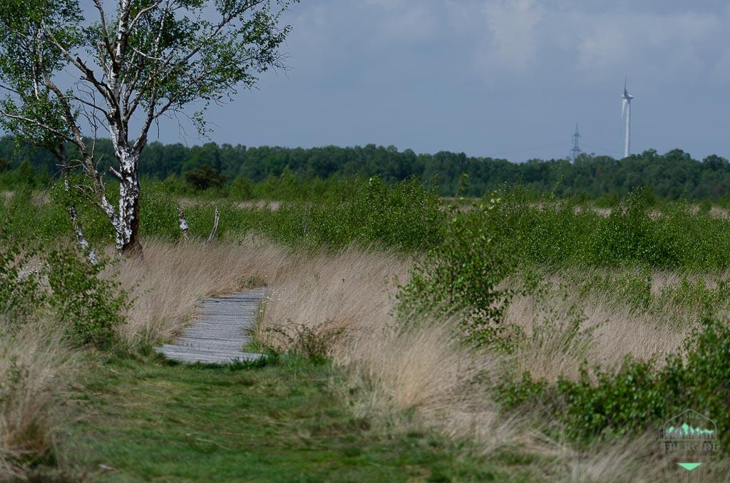 Exkursionen zur Wollgrasblüte im Moor (mit Foto-Tip) - mitten durch das Moor auf Bohlenwegen