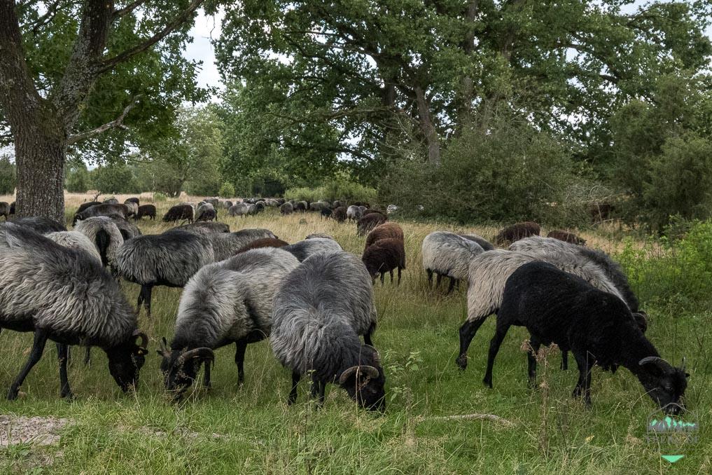 Naturerlebnisse in der Lüneburger Heide - Heidschnucken als Naturschutzhelfer erhalten die Heideflächen.