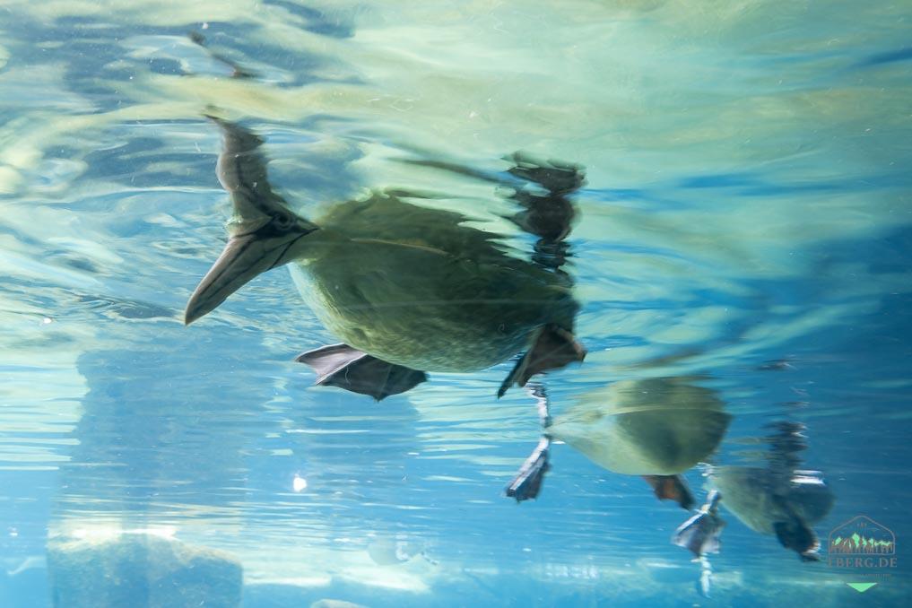 Aufatmen trotz Hitze - das war mein Juni 2021 - Basstölpel aus dem Zoo am Meer Bremerhaven