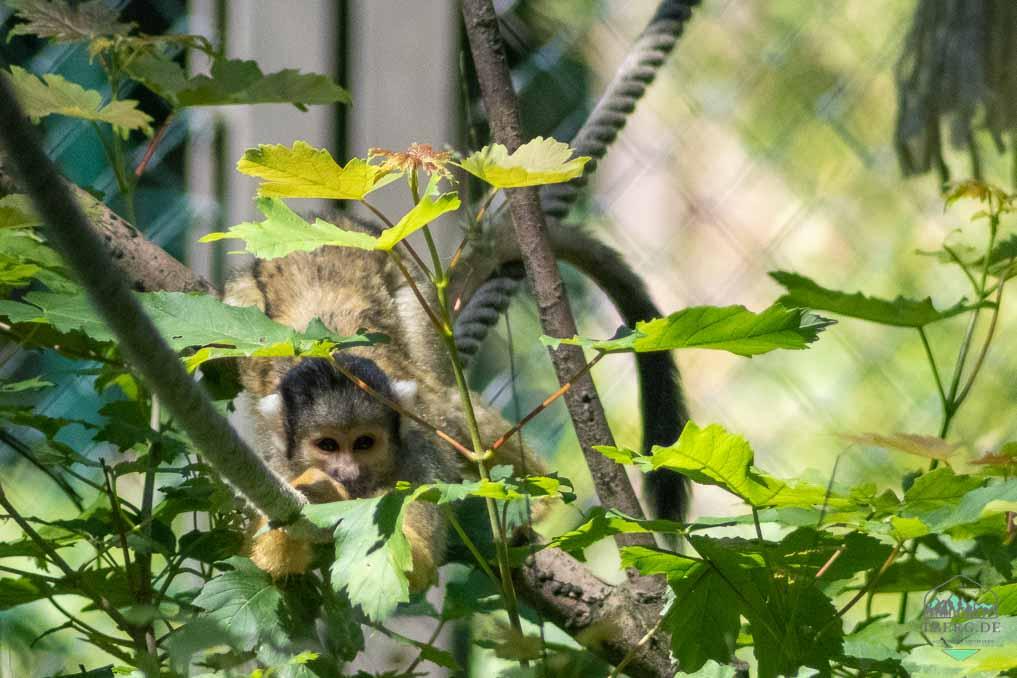 Besuch im Zoo Schwerin - ein Totenkopfäffchen blickt durch das Blattwerk