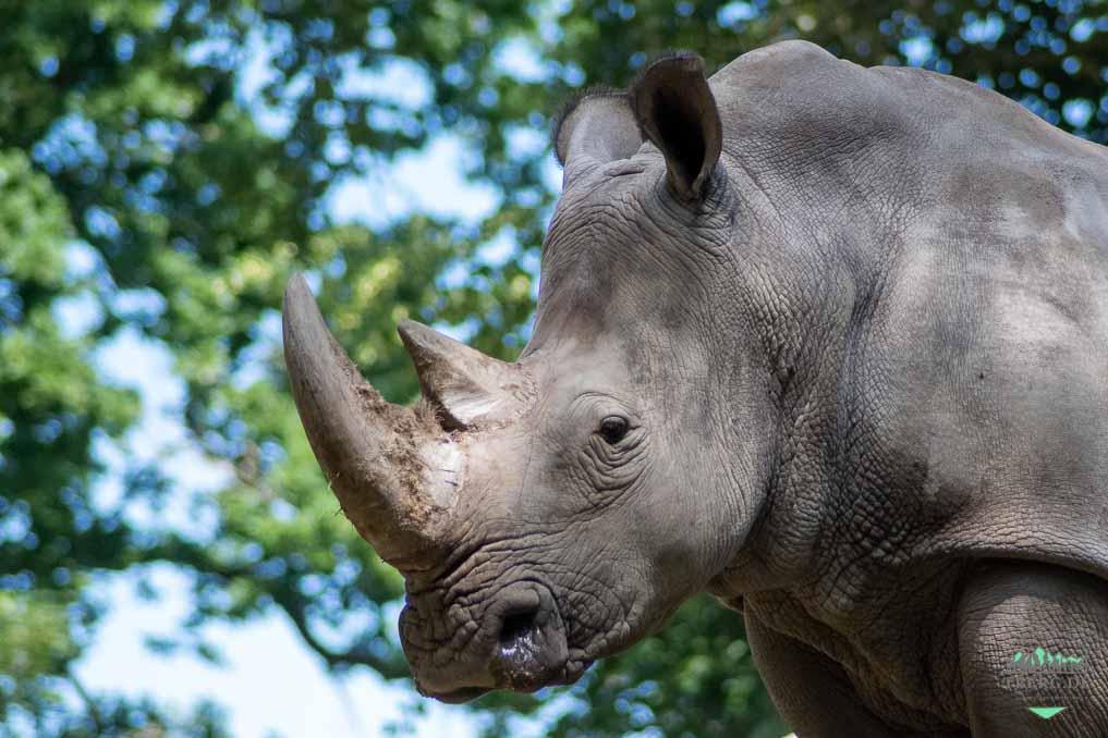 Nichts neues im Juli 2021 - Breitmaulnashorn im Schweriner Zoo