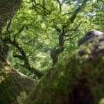 Uralte Kratt-Eichen bei Buchholz
