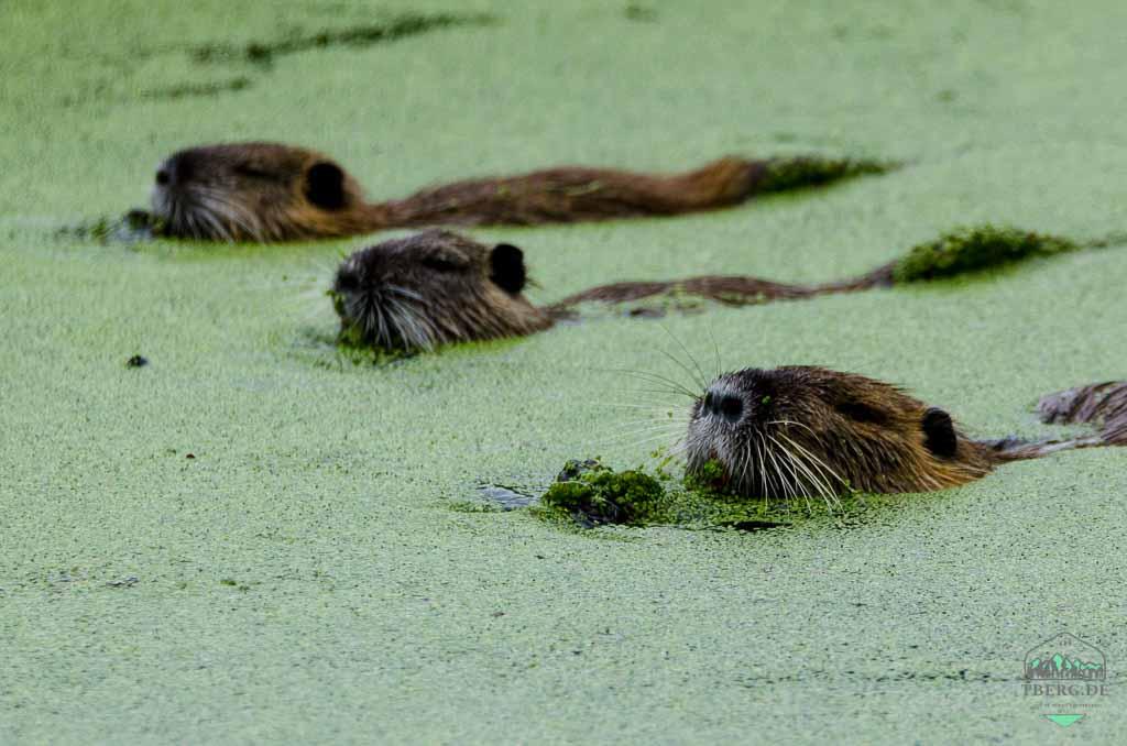 Naturerlebnisse in der Lewitz - Nutrias in einem Kanal am Wegesrand