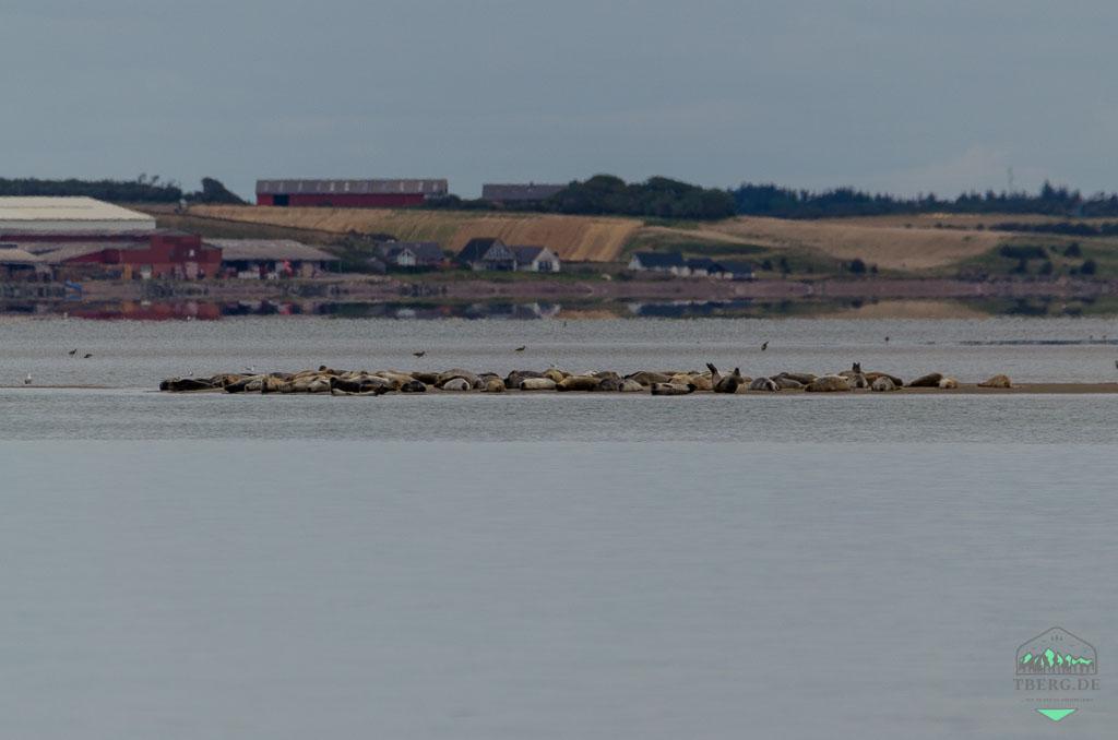 Agger Tange - HotSpot für den Vogelzug - die Robbenbank am Fährhafen Agger Tange