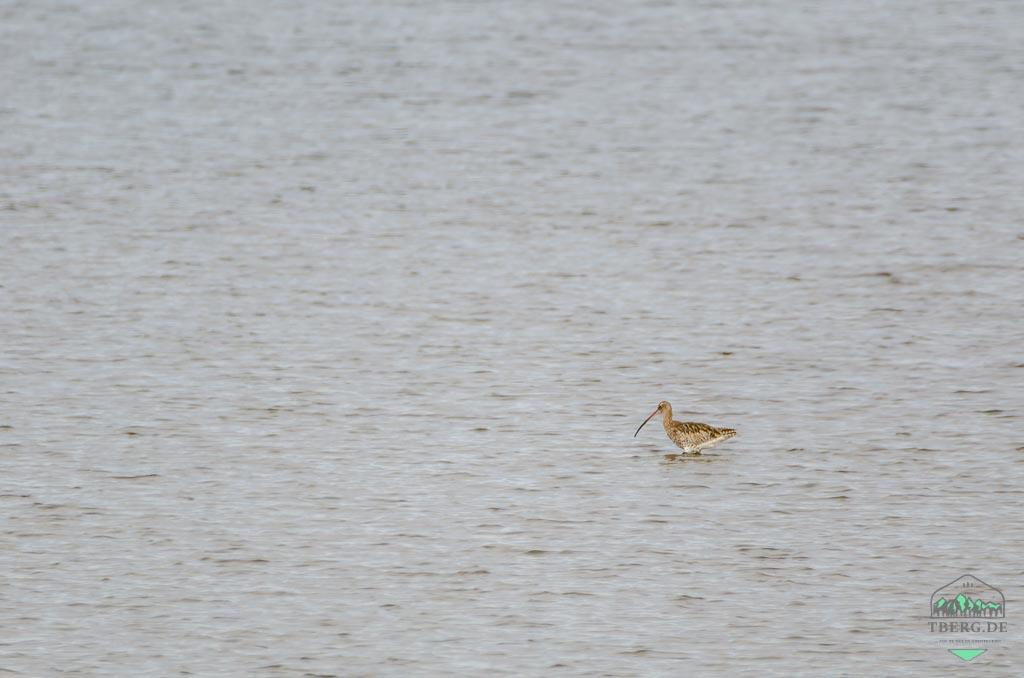 Agger Tange - HotSpot für den Vogelzug - Großer Brachvogel in den Flachwasserlagunen