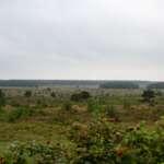 Koniks und Heckrinder in der Cuxhavener Küstenheide
