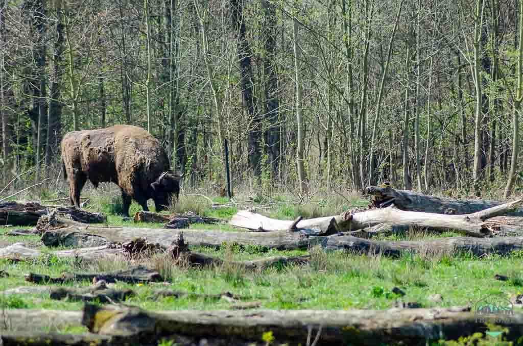 Koniks und Heckrinder in der Cuxhavener Küstenheide - der Wisent war fast ausgestorben und lebt heute auch wieder frei und wild in Deutschland