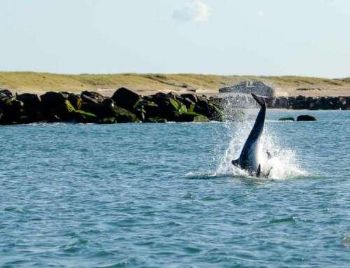 Auf Delfinsafari im Limfjord bei Thyborøn