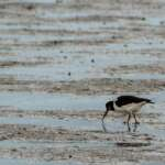 Zugvogeltage im Nationalpark Niedersächsisches Wattenmeer
