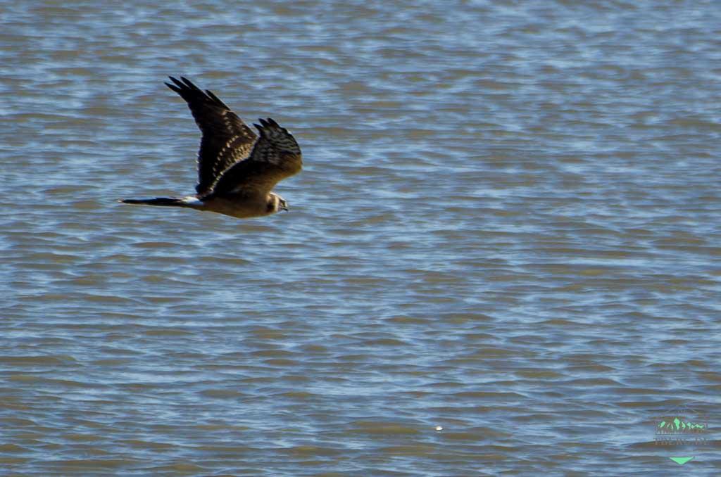Zugvogeltage im Nationalpark Niedersächsisches Wattenmeer - ein seltener Gast im Wattenmeer - die Steppenweihe