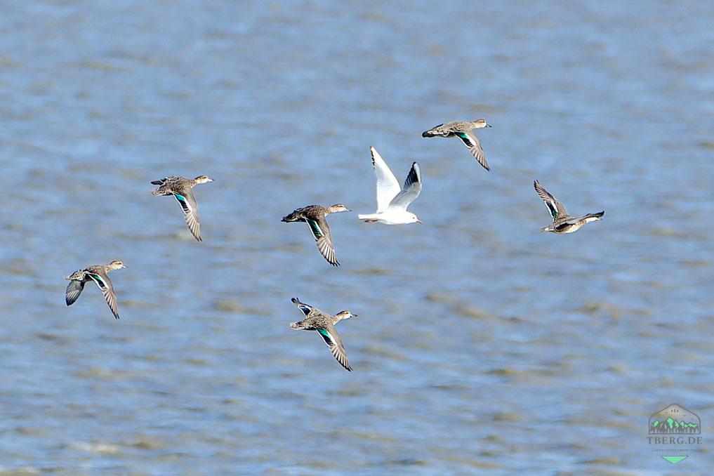 Zugvogeltage im Nationalpark Niedersächsisches Wattenmeer - ein seltener Gast im Wattenmeer - vorbeifliegende Krickenten